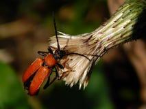 трава жука Стоковые Фото