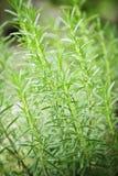 трава засаживает rosemary Стоковые Фото