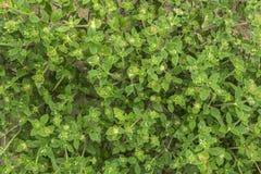 Трава засорителя астмы Стоковые Фото