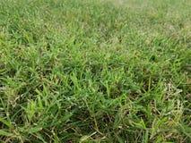 Трава засорителя Nimblewill стоковые изображения rf