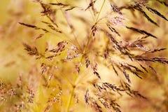 Трава засорителя в солнечности Стоковое Изображение RF