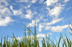 Трава засорителя Стоковое фото RF