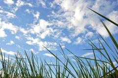 Трава засорителя Стоковая Фотография