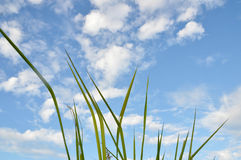 Трава засорителя Стоковые Фото