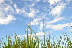 Трава засорителя Стоковые Изображения