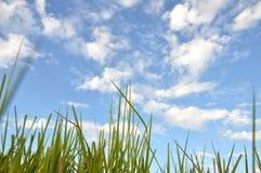 Трава засорителя Стоковые Фотографии RF
