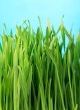 трава здоровая Стоковая Фотография RF