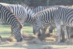 Трава зебры группы eatting в сафари Стоковые Фото