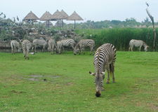 Трава зебры eatting Стоковое Фото