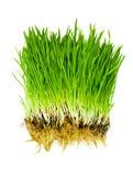 трава изолировала Стоковые Фотографии RF