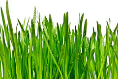 Трава изолированная на белой предпосылке Стоковая Фотография
