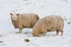трава ища овец идет снег вниз Стоковые Фото
