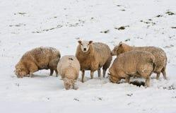 трава ища овец идет снег вниз Стоковая Фотография