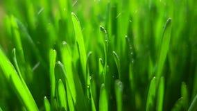 Трава и дождь весны сток-видео