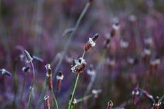 Трава или подорожник гусыни растя на луге Стоковая Фотография RF