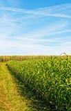 Трава и мозоль Судана стоковые изображения