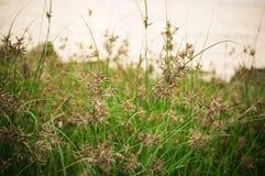 Трава и цветки захода солнца зеленая засевают обои и предпосылка травой Стоковые Фотографии RF