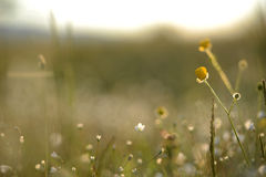 Трава и цветки луга Стоковые Фото