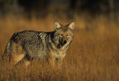 трава койота Стоковое Изображение RF