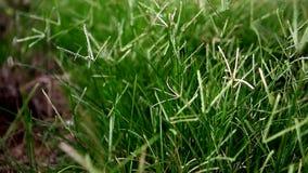 Трава конца-вверх ветреная зеленая видеоматериал