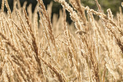 Трава конца-вверх высокая сухая Стоковая Фотография RF