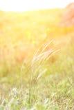 Трава колоска в заходящем солнце Стоковые Изображения
