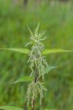 Трава крапивы в цветени стоковое фото