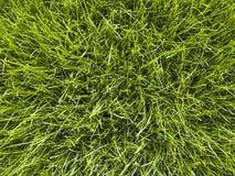 трава крупного плана Стоковая Фотография RF