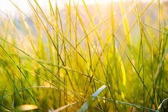 Трава крупного плана зеленая на заходе солнца Стоковое Изображение RF