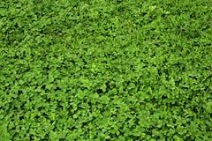 Трава клевера предпосылки Стоковое Изображение