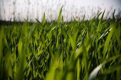 трава лезвий Стоковое Изображение