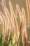 трава лисохвоста Стоковое Изображение
