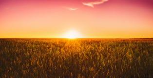 Трава луга в желтом солнечном свете на поздним летом или предыдущей осени Стоковое Изображение