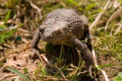 трава лягушки Стоковое Изображение