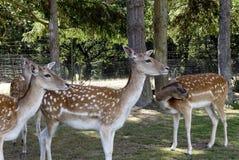 Трава молодых оленей в поле Стоковое Фото