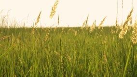 Трава на ветре сток-видео