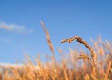 Трава на голубой летний день стоковые фотографии rf