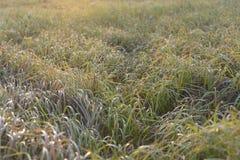 Трава на зоре Стоковое Изображение