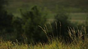 Трава на поле сток-видео