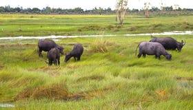 Трава ножниц табуна буйвола в поле стоковая фотография rf