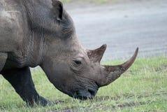 Трава носорога фото головная жуя в африканской саванне Стоковая Фотография RF