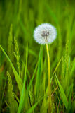 трава одуванчика стоковое фото rf