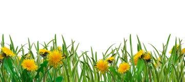 трава одуванчиков Стоковые Изображения RF