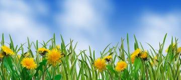 трава одуванчиков стоковое изображение