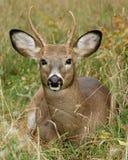 трава оленей самеца оленя Стоковые Изображения RF