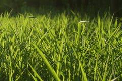 трава освещенная контржурным светом предпосылкой Стоковое Изображение RF