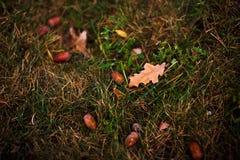 Трава осени с жолудями Стоковая Фотография