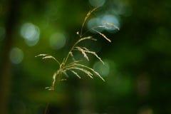 трава одиночная Стоковая Фотография