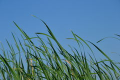 Трава долины лотосов Стоковое фото RF