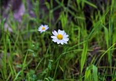 трава одно стоцвета Стоковое Фото